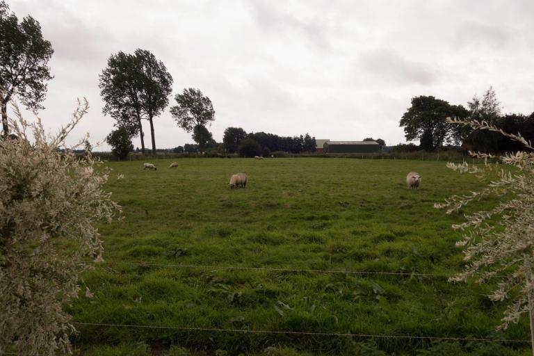Wilde Wollschweine (Schafe) im Hof Bullerbü